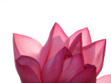 Lotus Flower in Full Bloom Fotografie-Druck von Michele Molinari