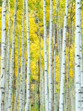 Rob Tilley - Aspen Grove, White River National Forest, Colorado, USA Fotografická reprodukce