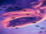 Sandhill Cranes in Flight and Lenticular Cloud Formation over Mt. Shasta, California Photographic Print by Tom Haseltine