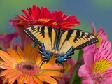 Eastern Tiger Swallowtail Female on Gerber Daisies, Sammamish, Washington, USA Fotografisk tryk af Darrell Gulin