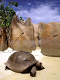 Aldabran Giant Tortoise, Curieuse Island, Seychelles, Africa Photographic Print by Pete Oxford