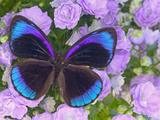 Blue and Black Butterfly on Lavender Flowers, Sammamish, Washington, USA Fotografie-Druck von Darrell Gulin