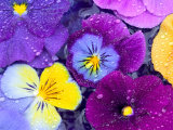 Pansy Flowers Floating in Bird Bath with Dew Drops, Sammamish, Washington, USA Photographie par Darrell Gulin