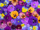 Pansy Flowers Floating in Bird Bath with Dew Drops, Sammamish, Washington, USA Lmina fotogrfica por Darrell Gulin