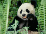 Panda in the Forest, Wolong, Sichuan, China Fotografiskt tryck av Keren Su