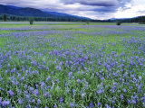 Field of Blue Camas Wildflowers near Huson, Montana, USA Photographic Print by Chuck Haney