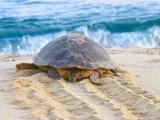 Loggerhead Turtle, Nagata, Kagoshima, Yakushima, Japan Photographic Print by Rob Tilley