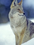 Coyote in Yellowstone National Park, Montana, USA Photographic Print by Chuck Haney
