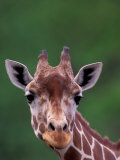 Reticulated Giraffe, Impala Ranch, Kenya Photographic Print by Gavriel Jecan