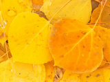 Aspen Leaves, Gunnison National Forest, Colorado, USA Photographic Print by Rob Tilley
