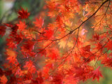 Fall Maple Leaves Photographie par Janell Davidson
