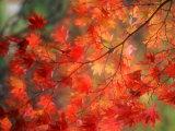 Fall Maple Leaves Photographie par Janell Davidson