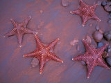 Sea Stars on Red Sandy Beach, Rabida Island, Galapagos Islands, Ecuador Photographic Print by Jack Stein Grove