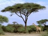 Southern Giraffe and Acacia Tree, Okavango Delta, Botswana Fotografisk tryk af Pete Oxford