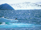 Adelie Penguin Strolls across Rocky Beach, Antarctic Peninsula Photographic Print by Howie Garber