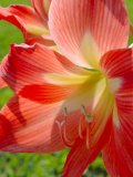 Peach Amaryllis, Edgewater, Florida Photographic Print by Lisa S. Engelbrecht