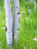 Aspen Trees and Wildflowers, Lake City, Colorado, USA Photographic Print by Janell Davidson