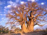 Baobab, Okavango Delta, Botswana Fotografie-Druck von Pete Oxford