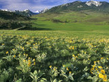 Balsamroot in the Absaroka Mountains, Livingston, Montana, USA Photographic Print by Chuck Haney