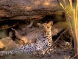 Leopard, Okavango Delta, Botswana Fotografisk tryk af Pete Oxford