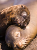 Mom and Baby Sea Lions, South Plaza Island, Galapagos Islands National Park, Ecuador Photographic Print by Stuart Westmoreland