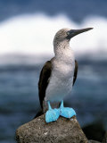 Blue Footed Booby, Galapagos Islands, Ecuador Reproduction photographique par Gavriel Jecan