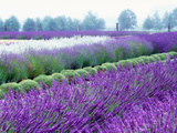 Lavender Field, Sequim, Washington, USA Photographic Print by Janell Davidson