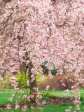 Flowering Cherry Tree, Seattle Arboretum, Washington, USA Photographic Print by Janell Davidson