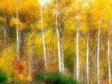 Fall Aspen Trees along Highway 2, Washington, USA Photographic Print by Janell Davidson