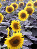 Sunflower Field, Jamestown, North Dakota, USA Photographic Print by Bill Bachmann