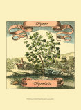 Thyme Posters by Theodor de Bry