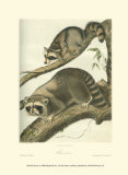 Racoon Posters par John James Audubon