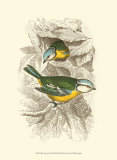 Mésange bleue Poster par Sir William Jardine