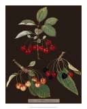 Brookshaw Cherries Giclee Print by George Brookshaw