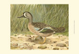 Blue-Wing Teal Print by  Ridgway