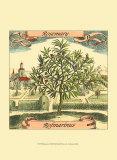 Rosmarin Kunstdrucke von Theodor de Bry