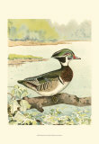 Woodduck Male Prints by  Ridgway