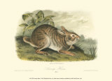 Swamp Hare Prints by John James Audubon