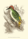 Green Woodpecker Prints by Sir William Jardine