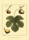 Fig Leaf I Print by  Langley