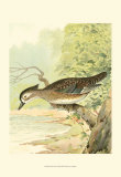 Woodduck Female Posters by Ridgway