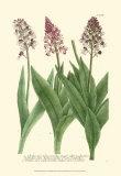 Lilac Blooms II Poster by Johann Wilhelm Weinmann