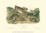Grey Rabbit Art by John James Audubon