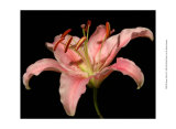 Dream Lilies II Prints by Renee Stramel