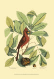 Red Bird and Hiccory Tree Print by Mark Catesby