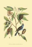 The Blew Grosbeak Posters by Mark Catesby