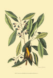 The Carolina Laurus Prints by Mark Catesby