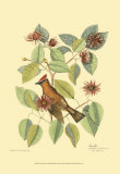 The Chatterer Prints by Mark Catesby