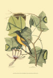 Oriole de Baltimore et tulipier Affiches par Mark Catesby