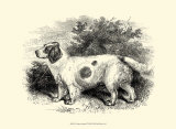 Clumber Spaniel Prints